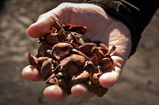 Lindt cocoa bean shells