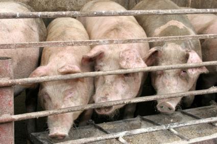 Smithfield hogs